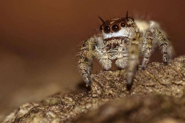 Canopy Jumping Spider (Phiddipus otiosus)