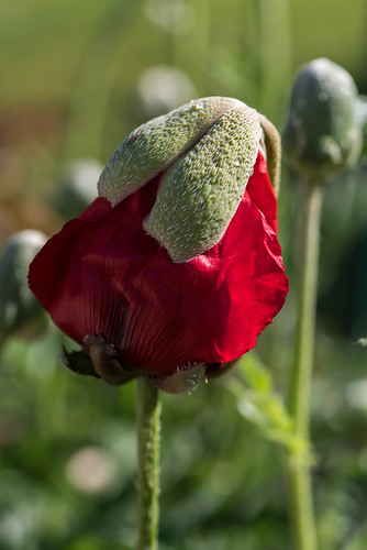 Poppy Birth | by warth man