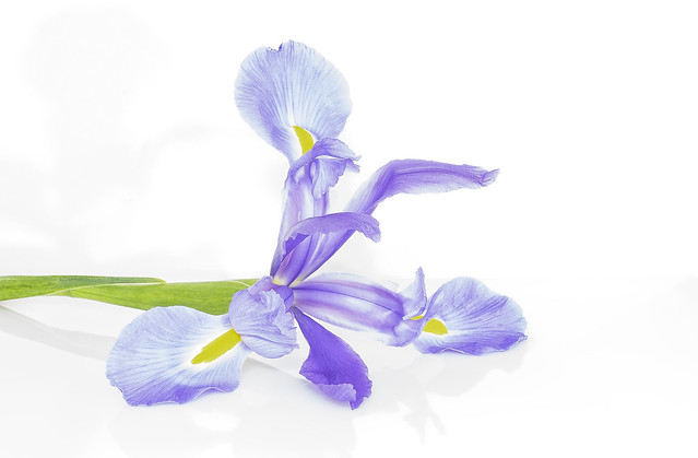 Purple Iris on White