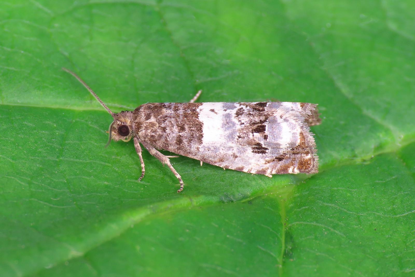 49.298 Triple-blotched Bell - Notocelia trimaculana