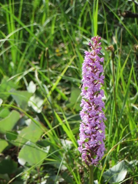 Orchidée, Val Fiscalina-Fischleintal, Sesto-Sexten,  province de Bolzano, Trentin-Haut Adige, Italie.