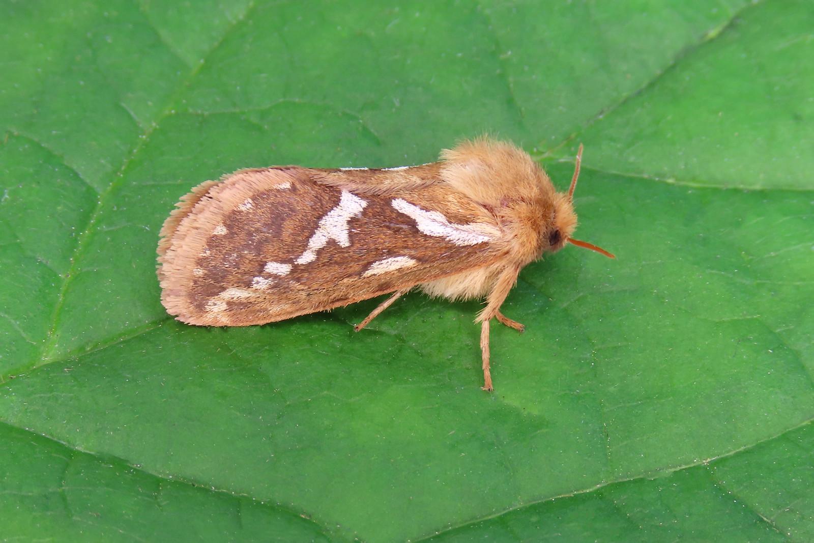 03.002 Common Swift - Korscheltellus lupulina