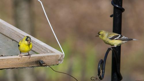 chardonneretjaune americangoldfinch carduelistristis beauce pq canada 6894 chardonneret jaune yellow goldfinch carduelis tristis oiseau bird deux two mâle et aussi une femelle male female