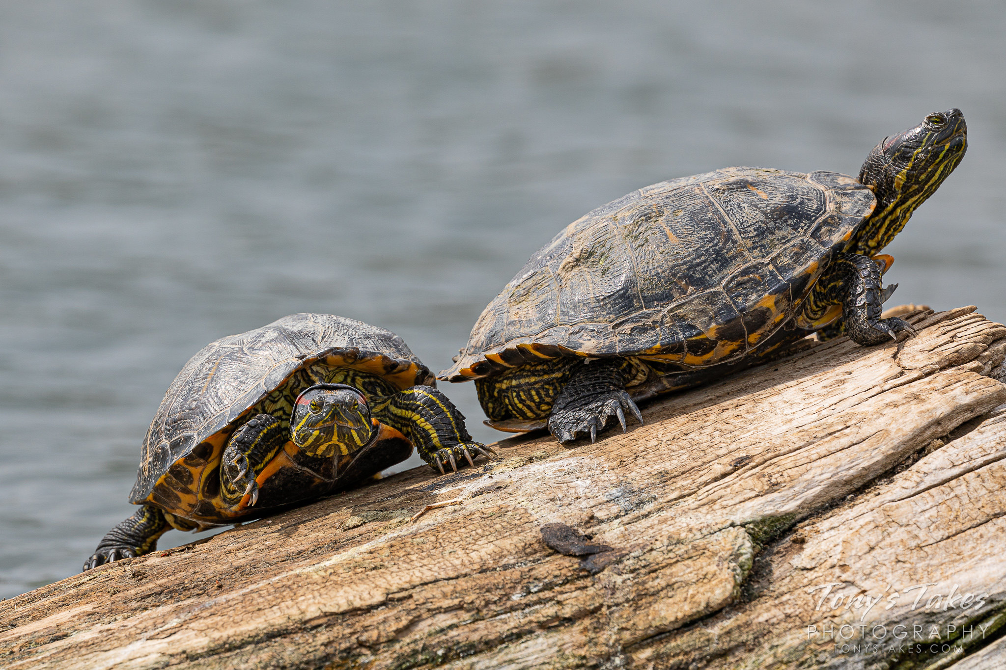 A pair of turtles hangs out on a log. (© Tony's Takes)
