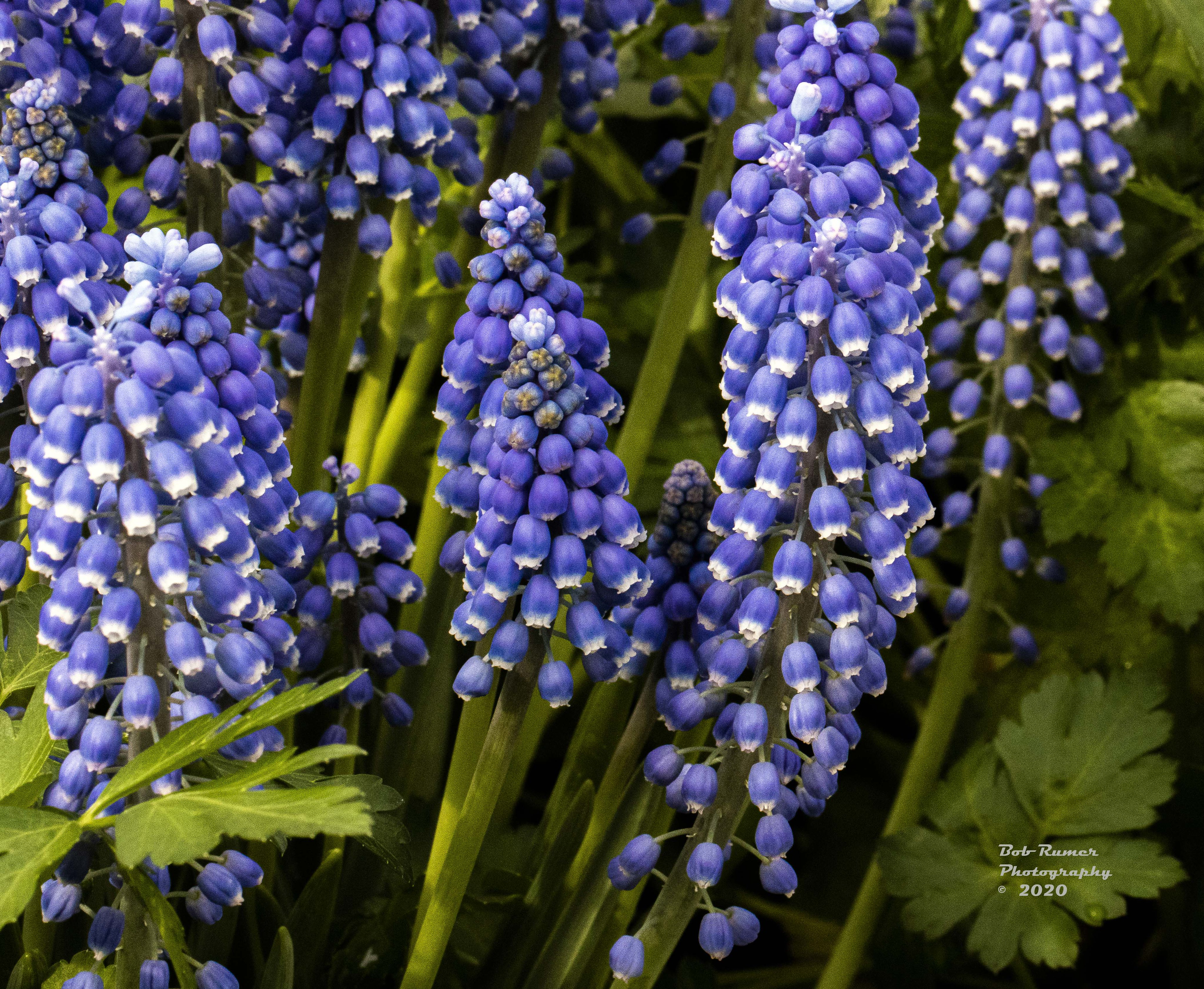 Grape Hyacinth 2.