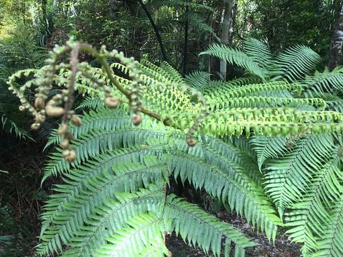 new zealand north island kauri waipoua
