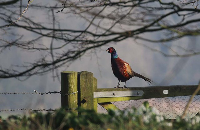Common pheasant, England