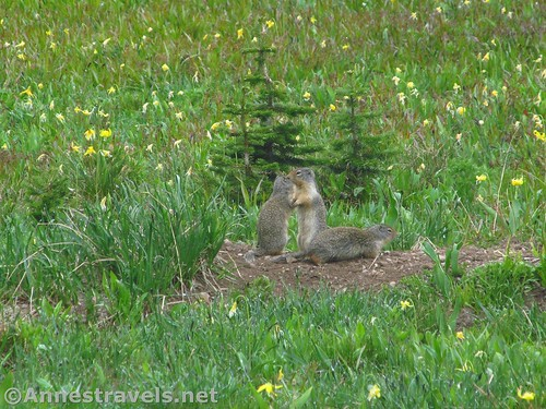 Yellow-bellied marmots (unless they're prairie dogs) along the Siyeh Pass Trail, Glacier National Park, Montana