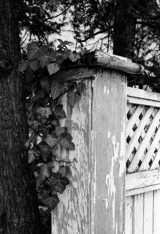 Vine on the Fencepost