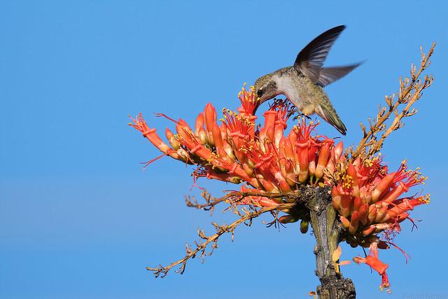 Hummingbird and Ocotillo Bloom