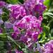 Garden May 20, Sweet peas