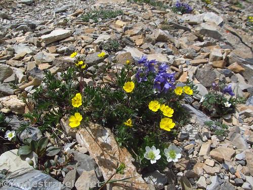Wildflowers in Siyeh Pass, Glacier National Park, Montana