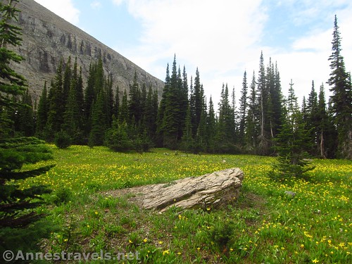 A meadow filled with Glacier Lilies, Glacier National Park, Montana