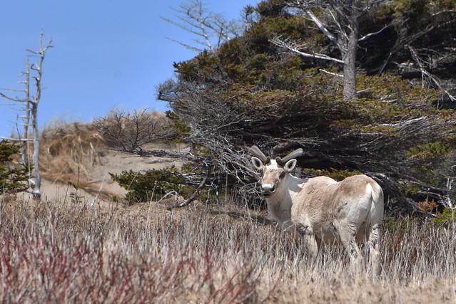 Caribou ... Rangifer tarandus