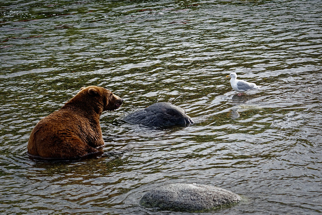 A Brown Bear and Seagull in the Brooks River (Katmai National Park & Preserve)