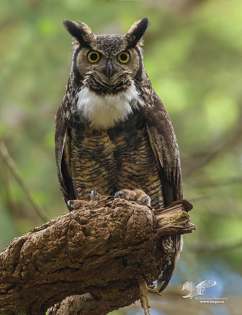 Hoo Are You? (Great Horned Owl)