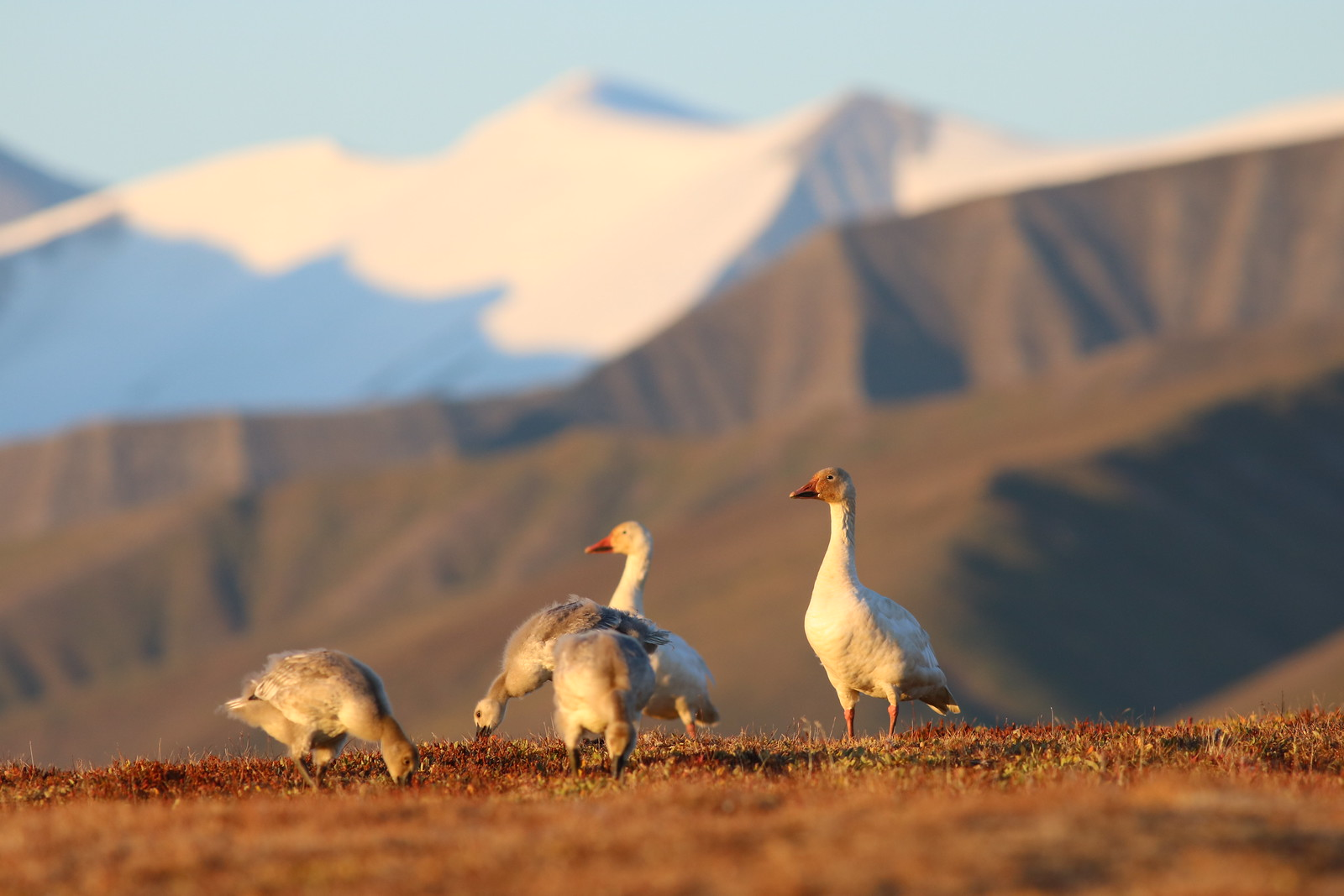 photo of greater snow geese
