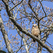 Great horned owl (Bubo virginianus) young