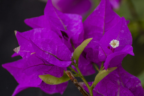 Close up pink bougainvillea, Royalton Riviera Cancun Resort & Spa, Mexico