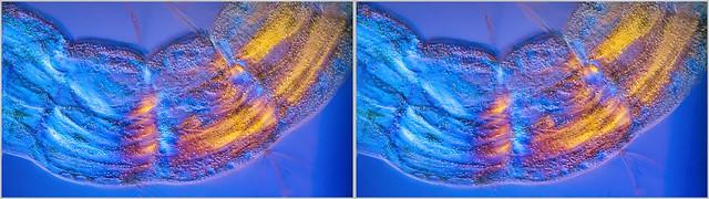 Chironomidae larvae stereo