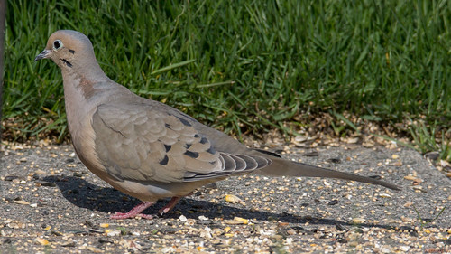 tourterelletriste mourningdove zenaidamacroura beauce canada 6963 tourterelle dove oiseau bird fantasticnature