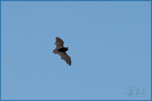Day Bat