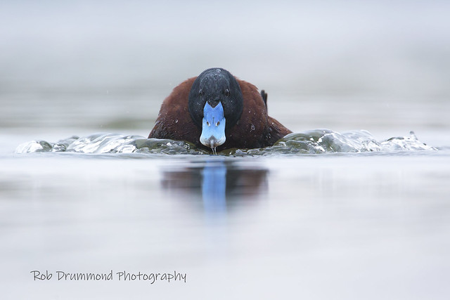 Blue-billed Duck - Jawbone Reserve, Melbourne