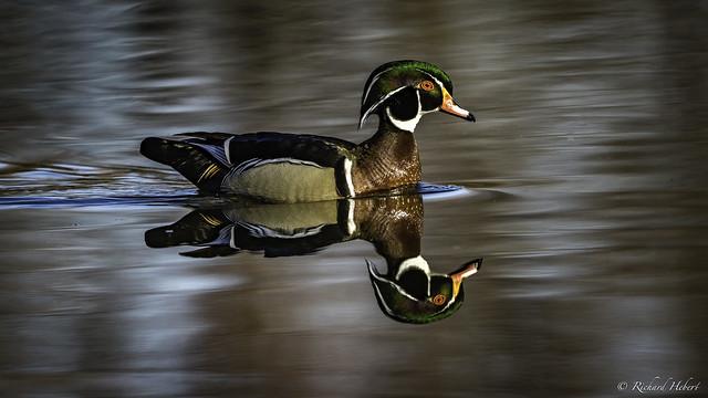 Canard Branchu Male / Wood Duck