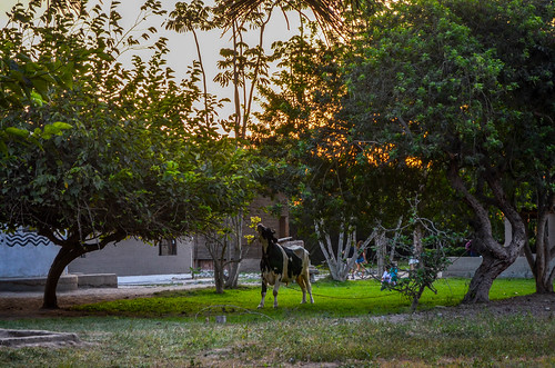 peru peruvian viaje conocer cow animals vaca animales granja farm eco truly park kirshna lima