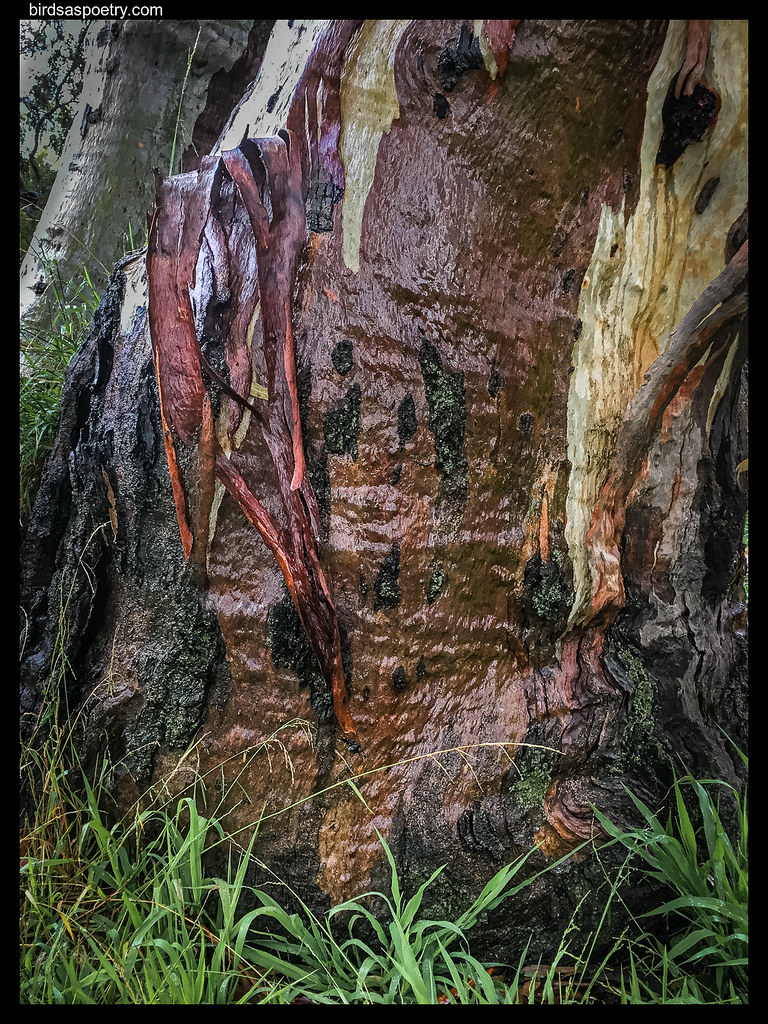 River Red Gum: The Waters of Life