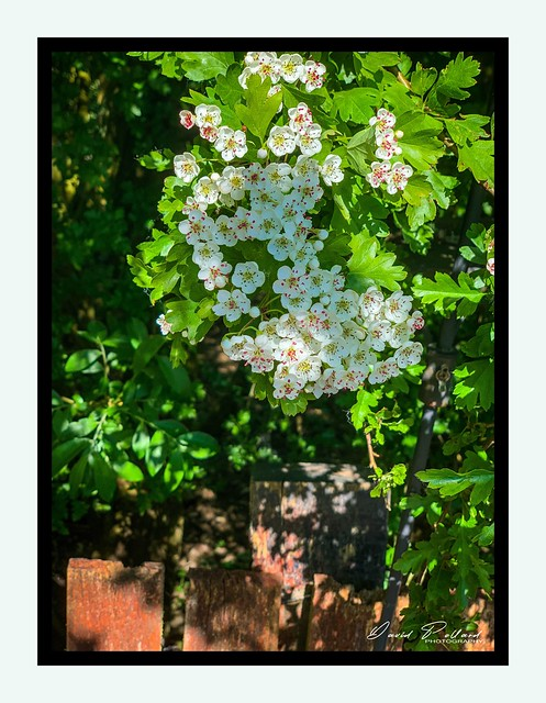 The white hawthorn and the red fence