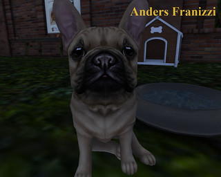 French bulldog | by Anders Franizzi