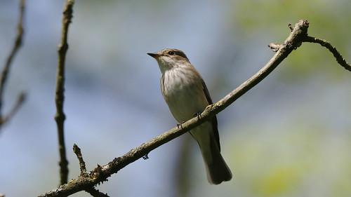 Spotted flycatcher ~ Muscicapa striata {explored}