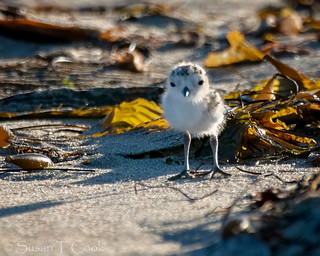 Baby Snowy Plover 1 | by cameraclub231