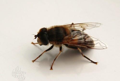 A fluffy fly