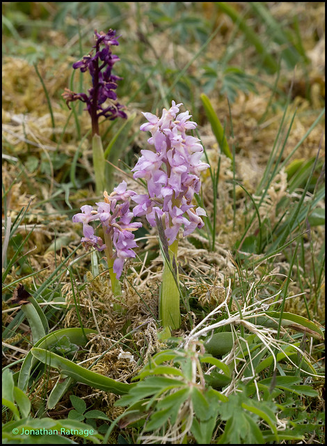 Ravensdale - Early Purple Orchid Colour Variation