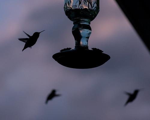 Hummingbird Horde