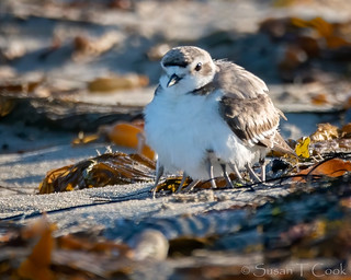 8-legged Snowy Plover (Mom and 3 babies) | by cameraclub231