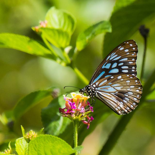 Blue Tiger Butterfly feeding on Lantana Flowers. Taken Week 16/52