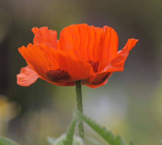Papaver orientale '(Goliath Group) Beauty of Livermere'