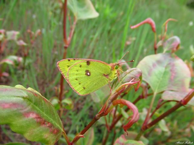 Butterfly 1971