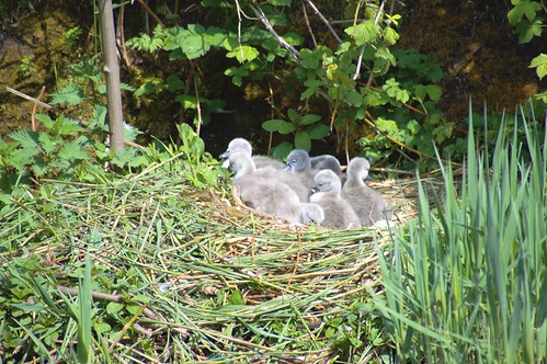 Baby swans on the nest | by Tony Worrall