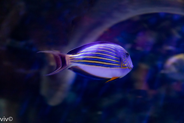 Pretty looking Lined Surgeonfish