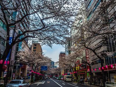 Nihon_arekore_02130_Cherry_blossoms_Nakano_100_cl