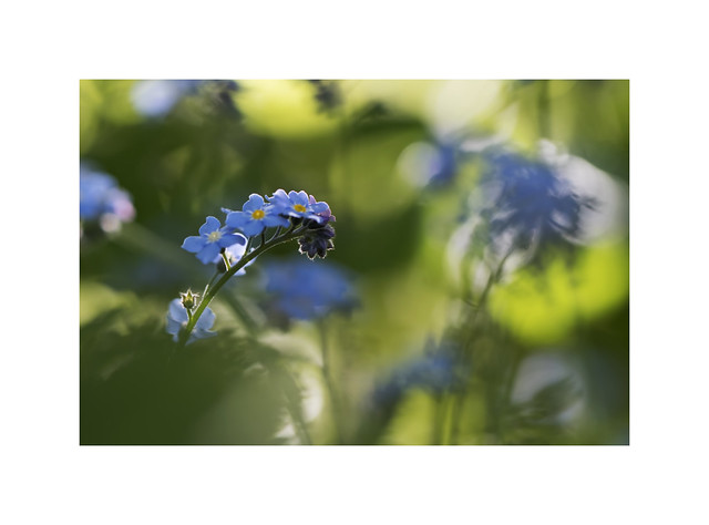 Forget-me-not....