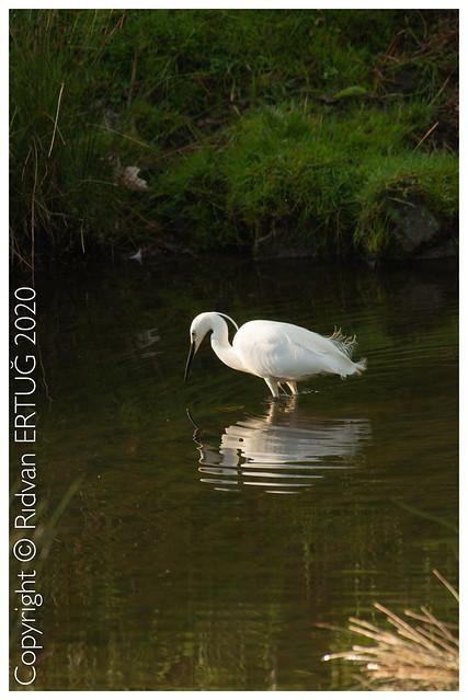 Little egret - Egretta garzetta / Taken at Bradgate Park Northwest of Leicester - UK
