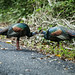Pheasants, Grouse, and Allies - Phasianidae