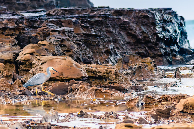 White-faced heron on the Rock Platform at the Seaside
