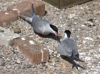Terns nesting on the docks | by Tony Worrall