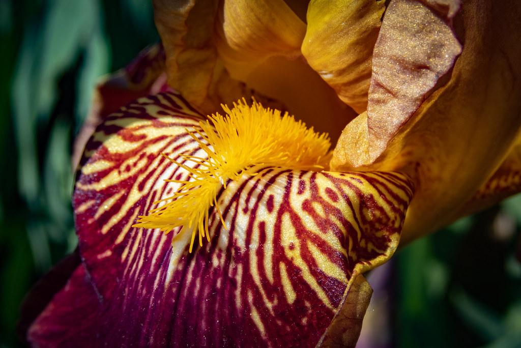 Le cœur des iris... 49919398053_2e9e52136d_b